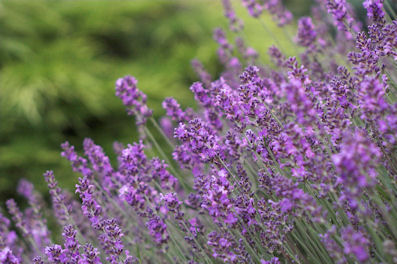 How I Clean My House with Lavender [Video]