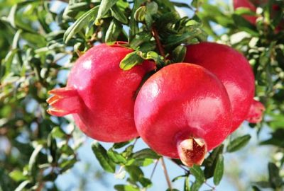 Tips For Pomegranate Growing