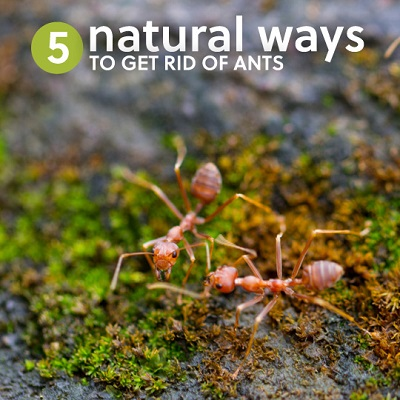 5 Ways to Get Rid of Ants Naturally Without Killing Them