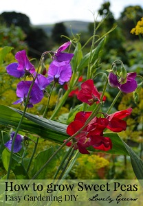 Tips on growing Sweet Peas (Flowers)