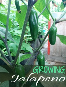 How to Grow Jalapeno Pepper Plant