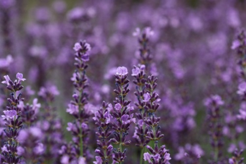 How to Make Homemade Lavender Wine