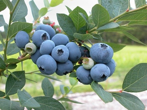 Ultimate Guide To Growing Blueberries